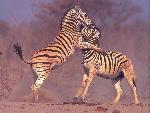 zebres zebres  5 jpg