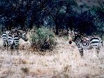 zebres zebres  6 jpg