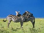 zebres zebres  7 jpg