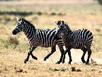 zebres zebres  8 jpg