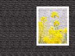 estampes fleur hana1 1 1 24 jpg