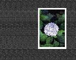 estampes fleur hana111 128 jpg
