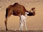 Egypte Dromedary Camels Sahara Egypt jpg