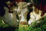 cow boys P 3 3665 JPG