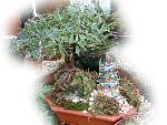 bonsai bonsai   jpg