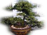 bonsai bonsai 1 jpg