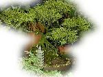 bonsai bonsai 11 jpg