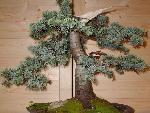 bonsai bonsai 12 jpg