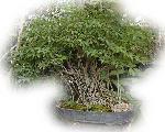 bonsai bonsai 2 jpg