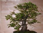 bonsai bonsai 3 jpg