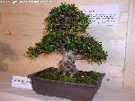 bonsai bonsai 7 jpg