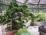 bonsai bonsai 9 jpg