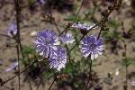fleurs sauvages amerique nord P 3 1233 JPG