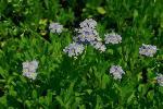 fleurs sauvages amerique nord P 3 124 JPG