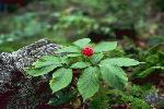 fleurs sauvages amerique nord P 3 1248 JPG