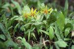 fleurs sauvages amerique nord P 3 1256 JPG