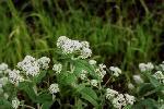 fleurs sauvages amerique nord P 3 1257 JPG