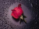 fleurs 8   rose jpg