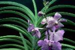 orchidees du monde P 3 1134 JPG