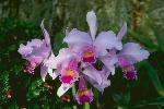 orchidees du monde P 3 1142 JPG