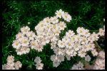 perennials en fleur P 3 1 36 JPG