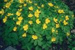 perennials en fleur P 3 1 47 JPG