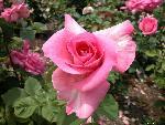 roses roses  2 jpg