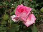 roses roses  3 jpg