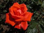 roses roses  7 jpg