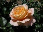 roses roses 1 jpg