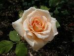 roses roses 13 jpg