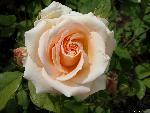 roses roses 14 jpg