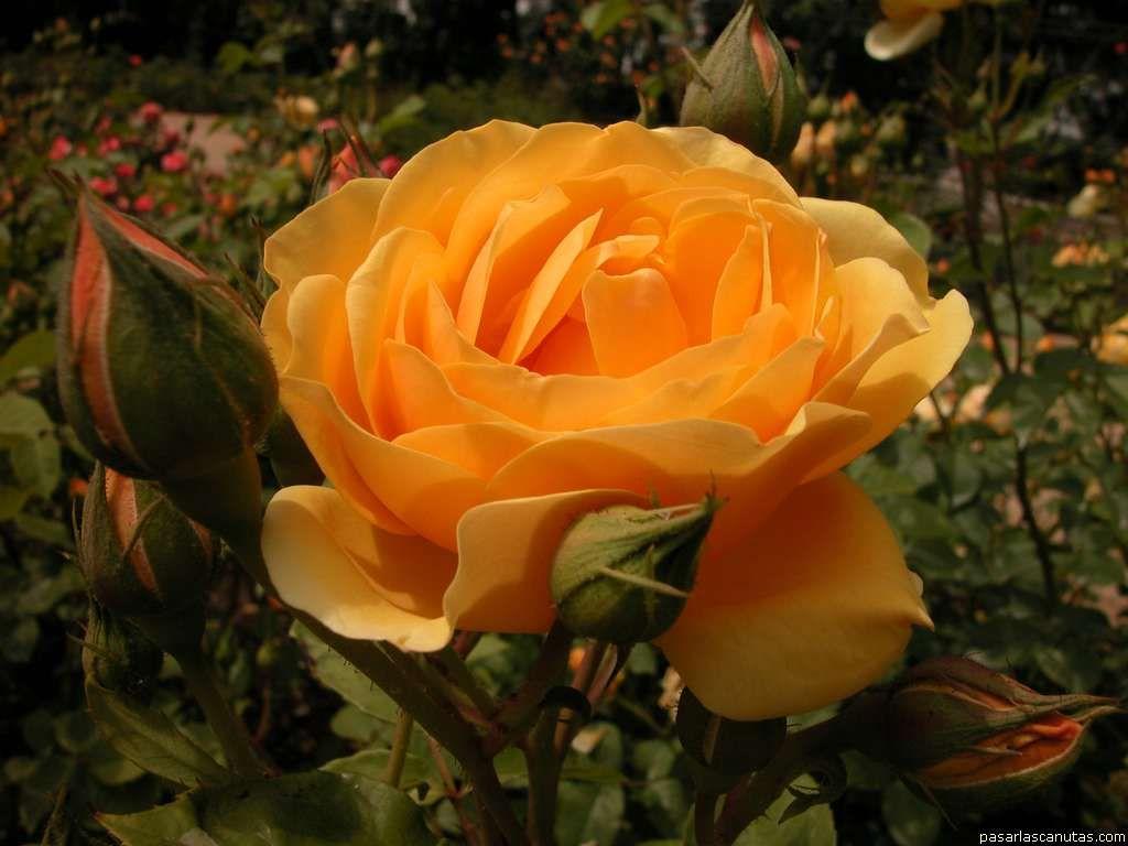 roses_039